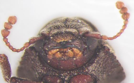 Endecatomidae, head, ventral - Endecatomus rugosus