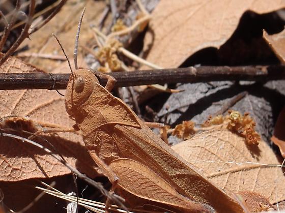 Tomonotus ferruginosus