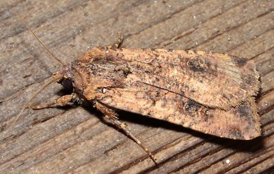 9sept2011-moth1.JPGC - Peridroma saucia