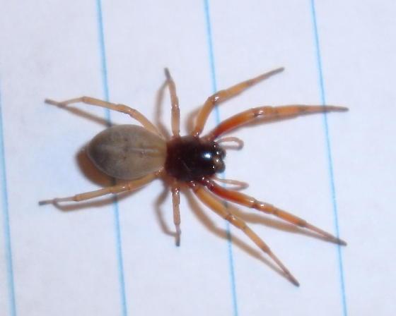 Orange Legged Spider - Trachelas