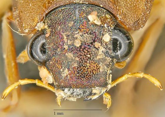 Hydrophilidae sp.? - Berosus