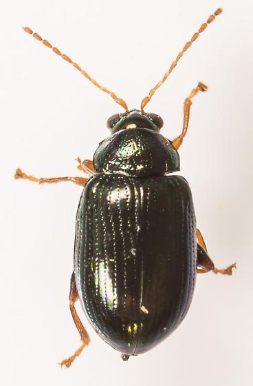 Beetle - Crepidodera - female