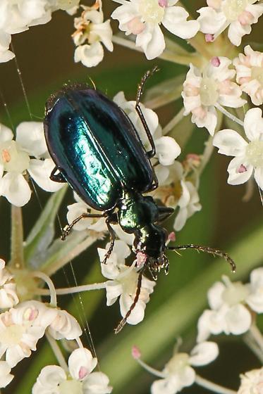 Blue-green Beetle - Lebia viridis? - Lebia viridis