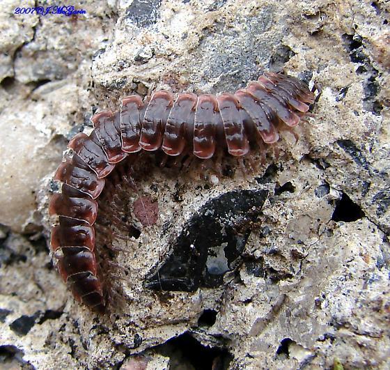 Millipede-any idea whick one? - Pseudopolydesmus serratus