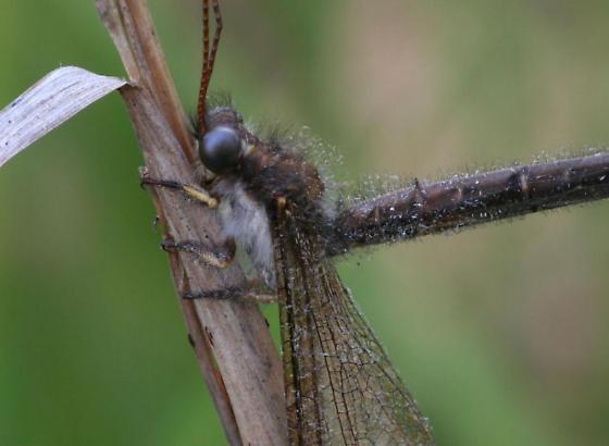 Owl fly - Ascaloptynx appendiculata