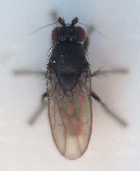 Tiny fly - Leptocera erythrocera - male