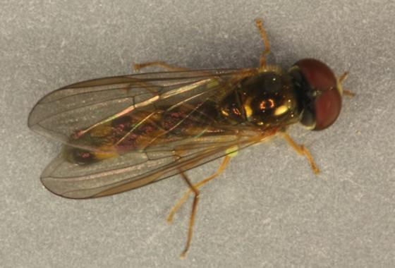 Portland Bioblitz 2012 PDX8 - Melanostoma mellinum - male
