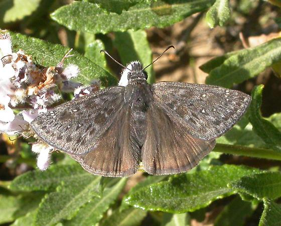 Propertius Duskywing - Erynnis propertius - male