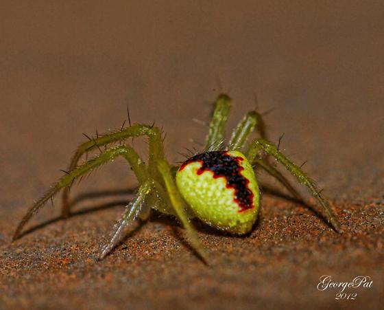 Araneus alboventris ? - Araneus alboventris - male