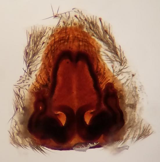Wolf spider - Hogna coloradensis - female