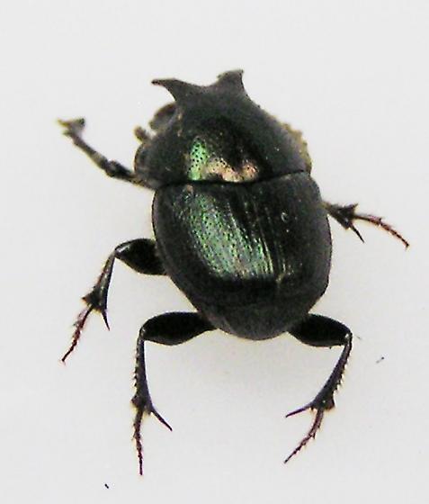 Little Guy with Horns - Onthophagus orpheus - male