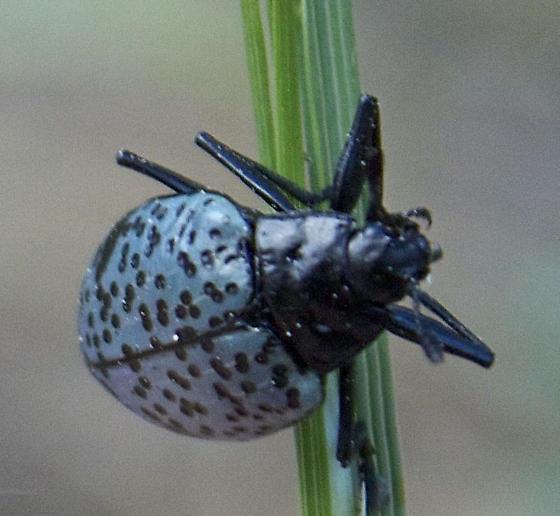 Blue Beetle with Black Spots - Gibbifer californicus