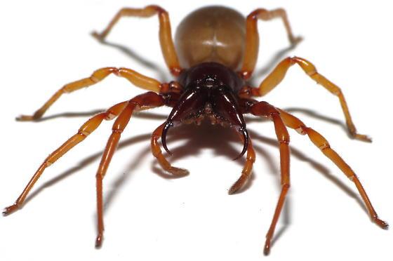 Pissed Woodlouse Spider - Dysdera crocata