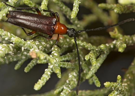 long-horned beetle - Cyphonotida rostrata