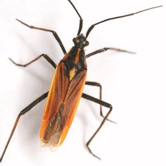 Leptopterna dolabrata (Linnaeus) - Leptopterna dolabrata