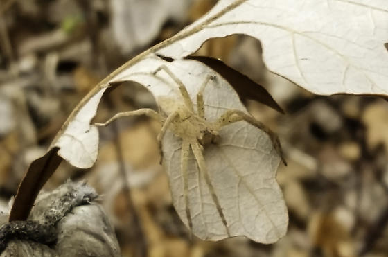 Camo spider - Pisaurina mira