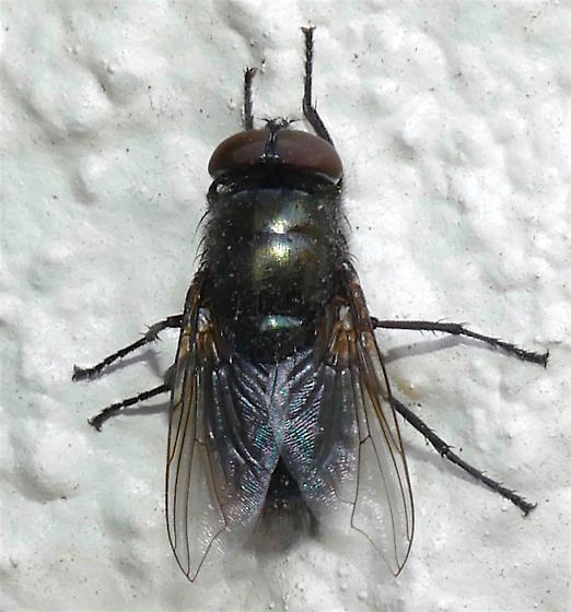 Calliphoridae? - male