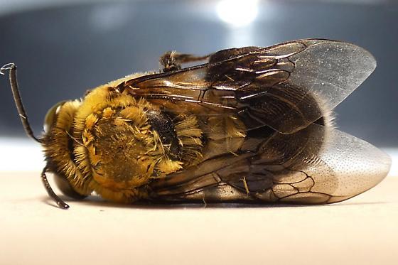 Bee - Centris nitida - male