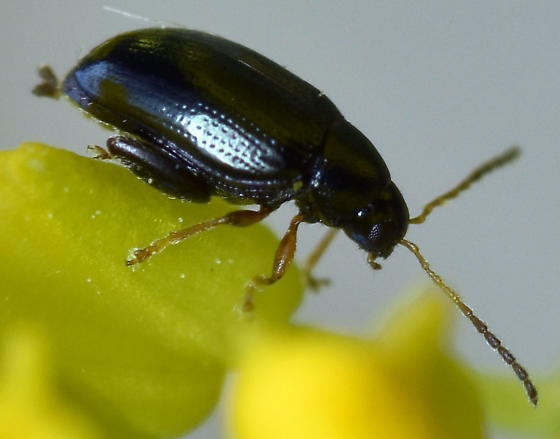 flea beetle - Psylliodes