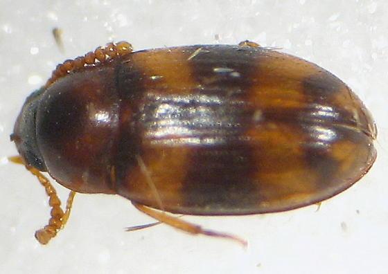 some kind of fungus beetle? - Alphitophagus bifasciatus