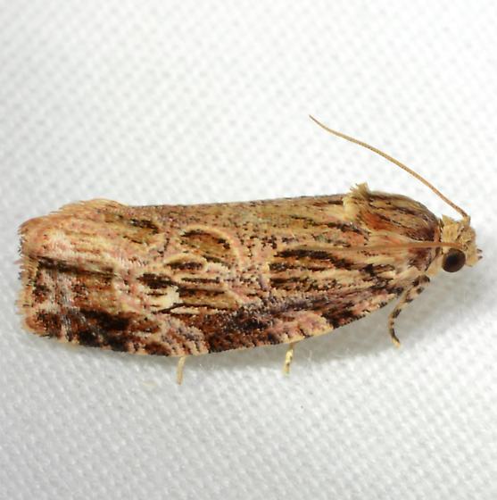 Phaecasiophora confixana