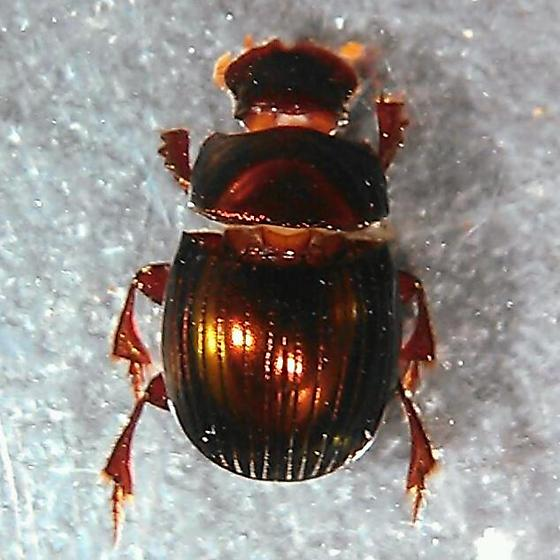 Scarab - Ateuchus histeroides