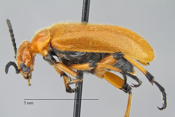 Meloidae