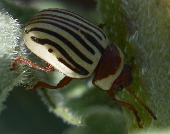 Sunflower Beetle - Zygogramma exclamationis