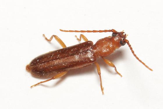 Cerambycidae, Flat Oak Borer, dorsal - Smodicum cucujiforme