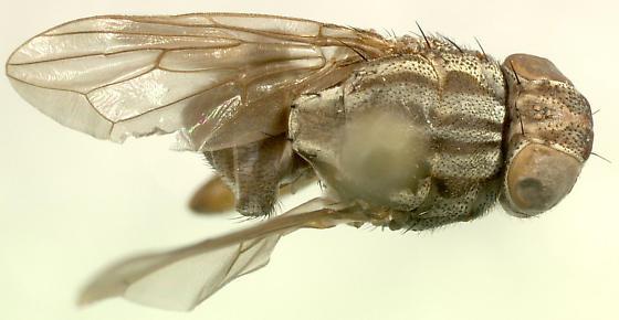 dorsal - Rhytidops floridensis - male