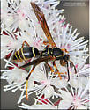 Wasp sp - Polistes fuscatus