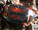 A brown and black beetle - Rhynchophorus cruentatus