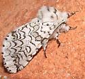 something in the tussock family? - Cerura scitiscripta