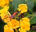 Zelus longipes nymph - Zelus longipes