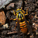 Yellow Jacket - Vespula squamosa