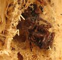 Spider inside its nest - Coras