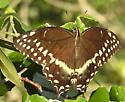 Papilio polyxenes ? - Papilio palamedes