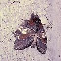 moth help - Peridea ferruginea