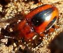 Beetle - Aphorista vittata