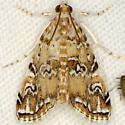 Waterlily Borer Moth - Elophila gyralis - male