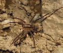 Wolf Spider with a couple of babies - Pardosa