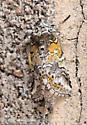 Orange, gray and white moth - Litodonta hydromeli