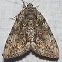 Oldwife Underwing - Hodges#8795 - Catocala palaeogama