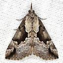 Baltimore Bomolocha - Hodges #8442 - Hypena baltimoralis
