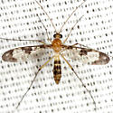 Predatory Fungus Gnat  - Macrocera - female