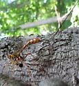 ichneumonid 1 - Megarhyssa greenei - female