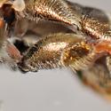 Eumerus - Eumerus funeralis - male