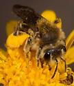 Bee Visiting Groundsel - Andrena