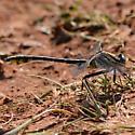Something like Pronghorn Clubtail? - Gomphurus externus - male