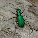 Cicindela sexguttata - female